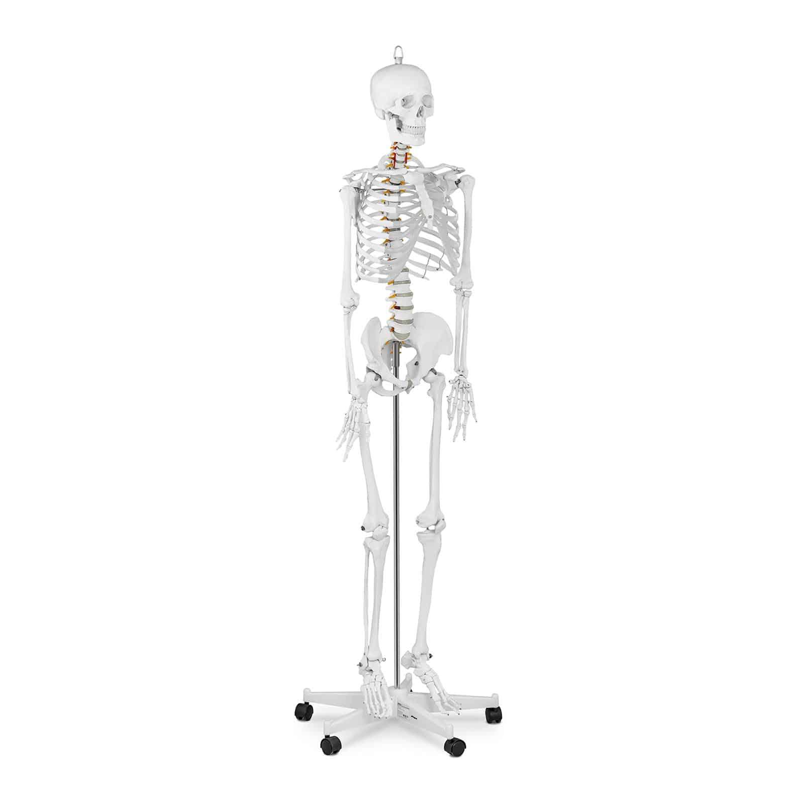 Anatomiske modeller